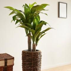 """Декоративное растение """"Юкка"""" высота 90 см"""