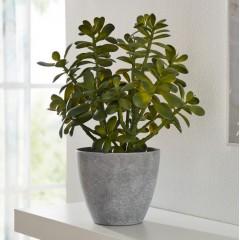 """Декоративное растение """"Крассула овата"""", высота 40 см"""